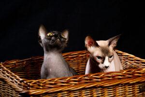 Felinos 2
